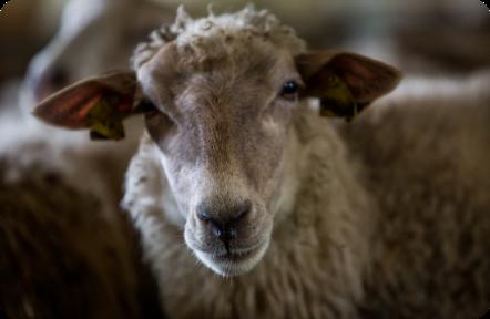chov oviec v malom
