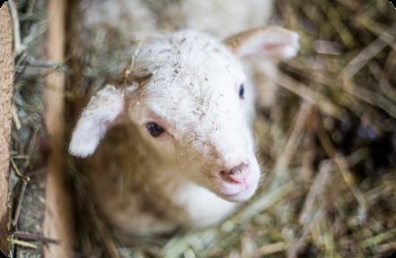 ovce na predaj