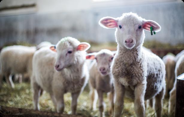 predaj jahniat a oviec